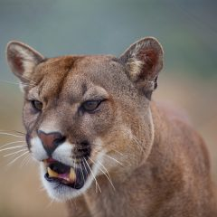 a mountain lion watching closely with his mouth slightly open